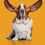 social monitoring basset hound on gold background