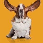 social monitoring basset hound on gold background