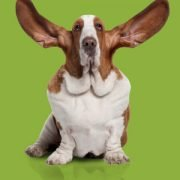 social monitoring basset hound on green background