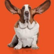social monitoring basset hound on orange background